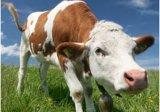 Кандида набора испытания мастита коровы