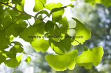 Естественная выдержка Biloba Ginkgo лактонов флавонов 6% 24%