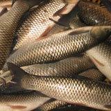 Alimentazione dei pesci d'acqua dolce