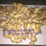 New Grop Shandong Origin Dried Ginger