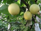 New Crop High Quality Fresh Ya Pear (28/32/36/40/44)