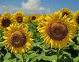 Hete Zaden Van uitstekende kwaliteit van de Zonnebloem van de Verkoop 5009 in Shell