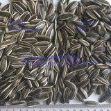 Núcleo de sementes de girassol cru de qualidade Gordura 601