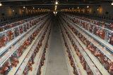 3-4tier de Kooi van de Kip van het Ei van het Landbouwbedrijf van het Gevogelte (de Apparatuur van het Gevogelte)