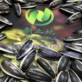 Semi di girasole neri con il più grande formato