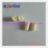 Het tand Model van Tanden voor Student