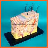 Ampliar o modelo anatômico da pele 70X com cabelo para a arte dos cosméticos & do estudo médico