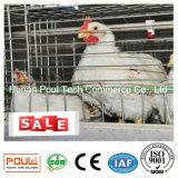 Exploração avícola da grelha com equipamento automático da gaiola das aves domésticas de China da galinha