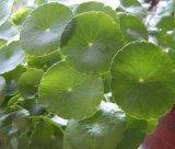Выдержка Kola Gotu/выдержка Centella Asiatica