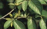 Chlorogenic Zuur 5%, 10%, 20%, 25%, 50%, het Uittreksel van 98% Eucommia Ulmoides
