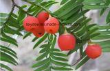 Нет 32981-86-5 99% 10-DAB CAS выдержки Taxaceae