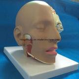 Modello d'istruzione anatomico del cervello umano con la testa