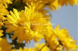 紫外線による風熱、熱および頭痛のフラボン10%のピレトリン50%の菊のMorifoliumのエキスの処理