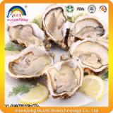 Polvere della proteina dell'ostrica