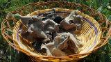 良質の白の背部黒い菌類