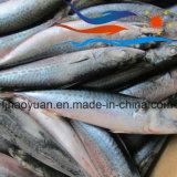 Славным скумбрия замерли возникновением, котор Тихая океан (PM014)