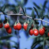 Ягода Goji плодоовощ Lbp Barbary Wolfberry мушмулы органическая