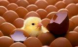 フルオートマチックの1000個の卵の家禽の鶏の卵の定温器