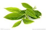 Het groene Poeder van het 10:1 van het Uittreksel van het Theeblaadje