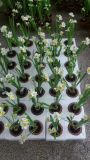 Flores artificiales de jacinto Gu20170307155220
