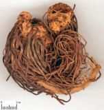 5:1 de taux d'extrait de poudre d'extrait de poudre de fond d'aster de Tatarian