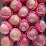 La nueva cosecha Qinguan Apple está viniendo
