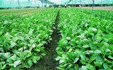 Jinnan Keysong Brand Air Bubble Máquina de lavar vegetais de vegetais de alface frondosa