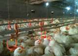 Broiler ChickenまたはPoultry Farm Equipmentの自動Feeding Line