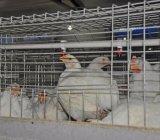لحظ دجاجة قفص مع آليّة تجهيز نظامة (نوع)