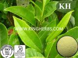 Grüner Tee-Auszug der Tee-Polyphenol-50%