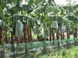 La banana Filare-Tenuta da adesivo di Polipropilene protegge