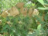 Bolso protector de la prevención de la prueba del agua de Brown de pulpa de madera del mango blanco ULTRAVIOLETA del papel para Growing de fruta