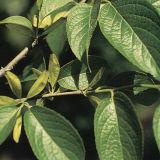 Chlorogenic Zuur (5-98%)