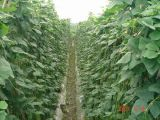 Contenido del fertilizante el 52% del polvo del aminoácido