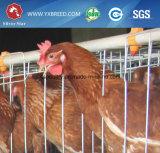 Equipo de la granja avícola de la capa del pollo (A3L120)