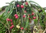 穀物のためのUnigrowの生物肥料、フルーツ、野菜に植わること