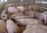 Добавка ранга питания хелата аминокислота цинка на цыплятине
