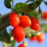 Baie sèche rouge Wolfberry organique de Goji de nèfle