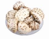 Высушенный одичалый гриб Shiitake белого цветка