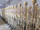 modello trasparente dello scheletro delle nervature del corpo umano di 168cm