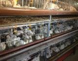 Broiler automatique Layer Cage pour la ferme avicole