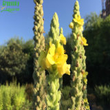 Verbascum Thapsus L del modulo della polvere in estratto dell'erba