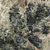 Bacche di Goji del nero dello spuntino della nespola