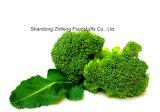 Bróculi congelado de IQF con la alta cosecha