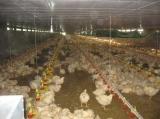 Linha da alimentação de galinha das aves domésticas/sistema automáticos alimentação da grelha