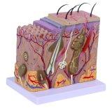 Людская увеличенная модель кожи 70 времен