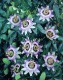 Extrait normal de fleur de passion avec la qualité