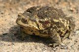 Порошок выдержки Venenum Bufonis яда жабы
