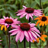 Echinacea Purpurea/Echinacea-Auszug