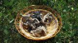 白の背部を持つ乾燥された黒い菌類